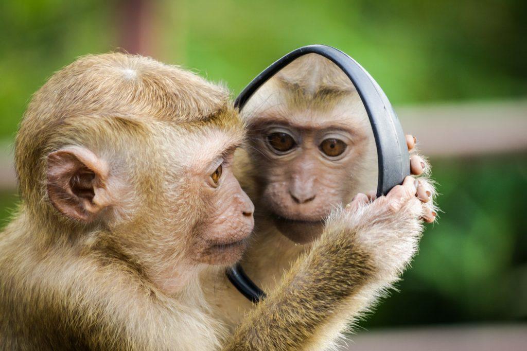 Małpka przeglądająca się w lustrze