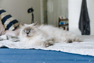 Biały, puchaty kot leży na kocu na łózku
